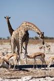 Två giraff på waterhole i Etosha Arkivfoto
