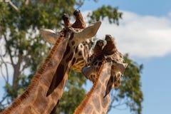 Två giraff som ser i väg från kameran med blå himmel på 3rd April 2018 Royaltyfri Bild