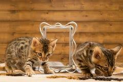 Två gjorde randig kattungen av Bengal avellek med fotoramen royaltyfri bild