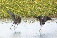 Två glansiga ibins som landar i ett träsk i jul, Florida Arkivbilder