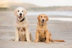 Två golden retrieverhundkapplöpning sitter på stranden fotografering för bildbyråer