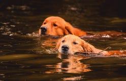 Två golden retrieverhundkapplöpning som simmar på vattnet av en sjö Arkivbilder