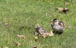 Två gräsandankungar i gräs Arkivfoto