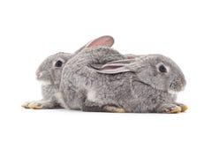 Två gråa kaniner Royaltyfria Bilder