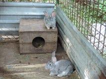Två gråa kaniner som sitter i en bur nära deras bås royaltyfria bilder