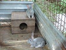 Två gråa kaniner som sitter i en bur nära deras bås Hushåll i landsbygder fotografering för bildbyråer