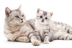 Två gråa katter fotografering för bildbyråer