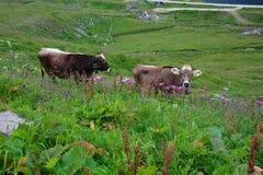 Två gråa kor på den alpina gröna dalen switzerland arkivfoton