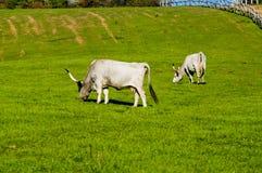 Två gråa nötkreatur som äter gräs Royaltyfria Bilder