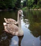 Två gråa svanar är i ett damm royaltyfri fotografi