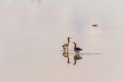 Två grågåsgäss som står i grunt vatten, reflexion Royaltyfri Bild