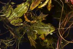 Två gröna ätliga grodor i ett damm Fotografering för Bildbyråer