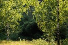 Två gröna björkträd i morgonljus Royaltyfri Fotografi