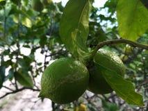 Två gröna citroner som växer på ett citronträd royaltyfria bilder