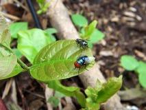 Två gröna flugor som parkeras på bladet royaltyfri fotografi