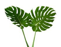 Två gröna monsteraväxtsidor med stjälk, den tropiska vintergröna vinrankan som isoleras på vit, bana Royaltyfria Bilder