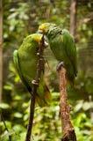 Två gröna papegojor som sitter på ett träd royaltyfria foton