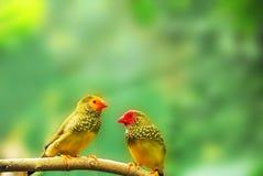 Två gröna pippier sitter på en filial arkivbild