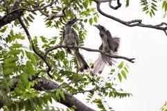 Två Grey Hornbills Royaltyfri Fotografi