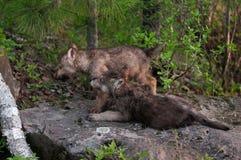 Två Grey Wolf (Canislupus) valper ser vänstra Royaltyfri Fotografi