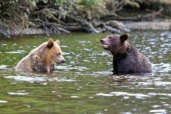 Två Grizzlys Arkivbilder