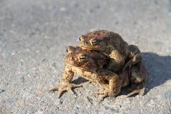 Två grodor. En sitter på annat. Arkivbild