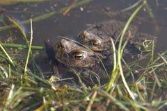 Två grodor som simmar i en sjö Fotografering för Bildbyråer