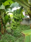 Två grupper av bananen bär frukt på trädet Royaltyfri Foto