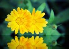 två gula blommor av calendula reflekterade i vattnet arkivfoton