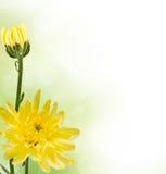 Två gula chrysanthemums Royaltyfria Bilder