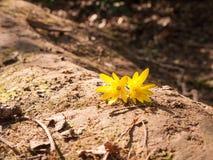 Två gula hövdade blommor på Forest Floor fotografering för bildbyråer
