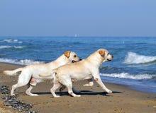 Två gula labradors som kör till havet Royaltyfri Foto