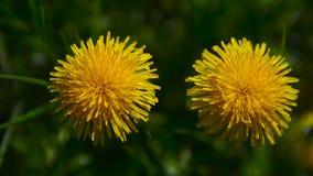 Två gula maskrosor i trädgården stock video