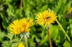 Två gula maskrosor med ett bi arkivfoton
