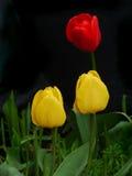 Två gula och en röda tulpan Royaltyfria Bilder