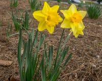 Två gula påskliljor Arkivfoto