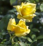 Två gula rosor i en trädgård Royaltyfri Bild