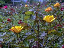 Två gula rosor i mitt av en rosa trädgård royaltyfri fotografi