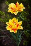 Två gula tulpan med ett handlag av rött Royaltyfri Foto