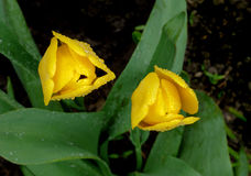 Två gula tulpan på en mörk bakgrund Royaltyfria Foton