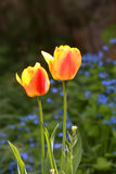 Två gula tulpanblommor fotografering för bildbyråer