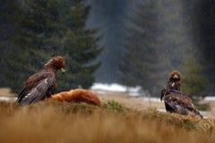 Två guld- Eagle som matar på röd räv för byte i skogen under regn och snöfall Fågeluppförande i naturen Handlingmatplats arkivfoton