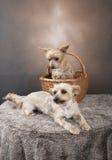 Två guld- Yorkshire terrier som lägger ner i en korg Arkivbild