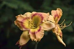Två guling-rosa färger liljor Arkivbild