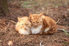 Två gulliga älskvärda unga katter Royaltyfri Bild