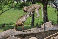 Två gulliga apor som hoppar och spelar Arkivbilder