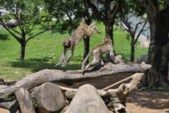 Två gulliga apor som hoppar och spelar Royaltyfri Bild