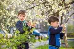 Två gulliga barn, pojkebröder som går i blos för en vårkörsbär Arkivbilder