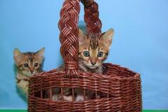 Två gulliga bengal kattungar Älsklings- djur Arkivfoto