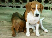 Två gulliga hundar Arkivbilder